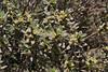 Thymelaea tartonraira, deficient in lime, Sparti-Geraki