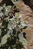 Stachys candida, Mili Gorge, N of Kambos,  Kalathio mountains, Mani,