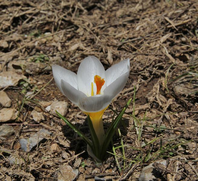 Crocus sieberi  ssp. nivalis, light coloured form, Ascending-Profitis Ilias2407m, highest summit, Taigetos mountains v.v. (SW of Sparti)