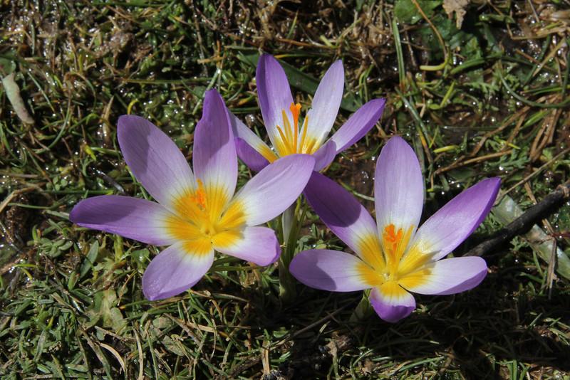 Crocus sieberi  ssp. sublimis, Mount Helmos 2341m, SE of Kalavrita