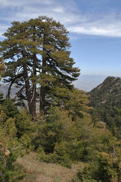 Pinus nigra ssp. pallasiana, Trailhead near M.Panagias-Profitis Ilisa 2407m highest summit, Taigetos mountains v.v. (SW of Sparti)