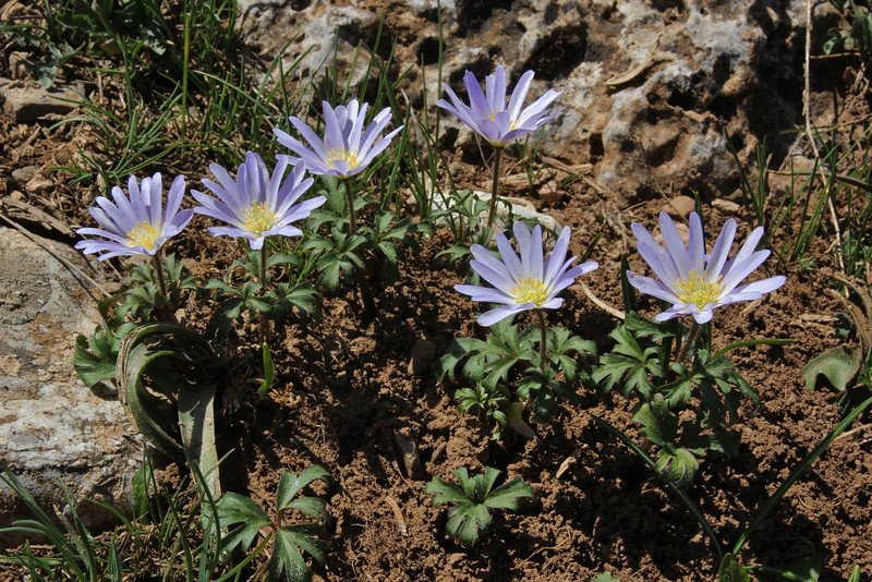 Anemone apennina ssp. blanda, Mount Helmos (Chelmos) 2341m