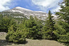 Abies cephalonica, Trailhead near M.Panagias-Profitis Ilisa 2407m highest summit, Taigetos mountains v.v. (SW of Sparti)