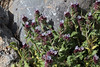 Anchusella variegata, mountains SW of Lambokambos