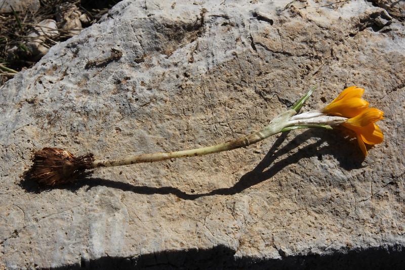corm of Crocus olivieri, (only for ID purpose), Mount Helmos (Chelmos) 2341m