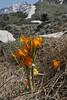 Crocus olivieri, Mount Helmos (Chelmos) 2341m