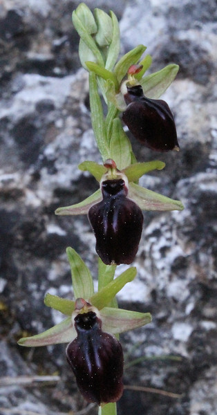 Ophrys cf. macedonia,  100m above trailhead near M.Panagias-Profitis Ilias 2407m highest summit, Taigetos mountains (SW of Sparti)