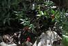 Ruscus aculeatus, Mili Gorge, N of Kambos,  Kalathio mountains, Mani,