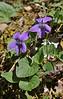 Viola cf. reichenbachiana, forest along the Styx river, Mount Helmos 2341m, SE of Kalavrita