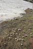 Crocus sieberi ssp. sublimis, Mount Helmos (Chelmos) 2341m