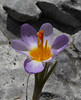 Crocus sieberi  ssp. nivalis, an endemic subspecies of the Taygetos Mountains, Ascending-Profitis Ilias 2407m, highest summit, Taigetos mountains v.v. (SW of Sparti)