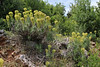 Euphorbia characias, Lambokambos, foothills of Madara mountains