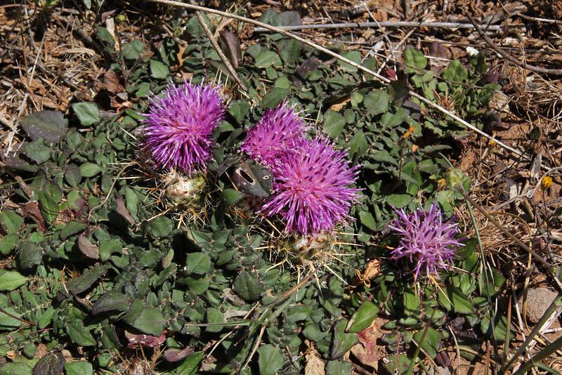 Centaurea raphaniana, deficient in lime, Sparti-Geraki