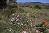 Cistus incanus ssp. creticus, Geraki-Lambokambos, foothills Parnon mountains