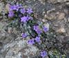 Campanula topaliana ssp. topaliana, S of Mili Gorge, N of Kambos,  Kalathio mountains, Mani,
