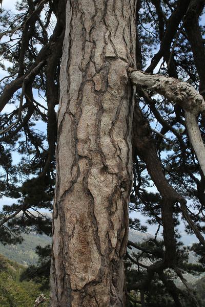 Trunk of Pinus nigra ssp. pallasiana, Trailhead near M.Panagias-Profitis Ilisa 2407m highest summit, Taigetos mountains v.v. (SW of Sparti)