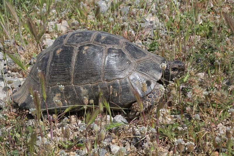 Testudo marginata, Weissinger's Tortoise, mountains SW of Lambokambos