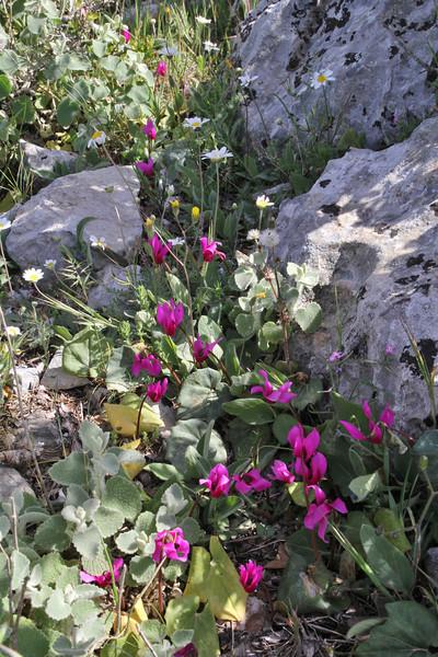 Cyclamen peloponnesiacum ssp. vividum, mountain 1000m SW of Lambokambos
