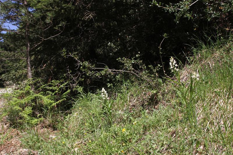 Cephalanthera longifolia, 990m, forest along the Styx river, Mount Helmos 2341m, SE of Kalavrita