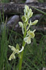 Orchis provincialis, leaves with large dark spots, Lagada pass, beyond Artemisia, Kalamatra-Sparti