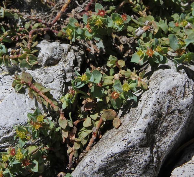 Euphorbia herniariifolia, along Styx river, Mount Helmos 2341m, SE of Kalavrita