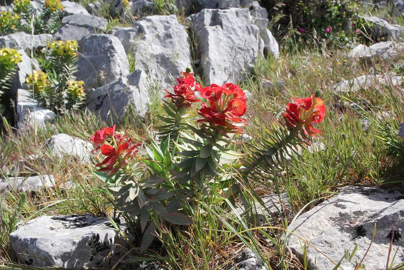 Euphorbia rigida, 1000m mountains SW of Lambokambos