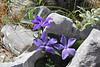 Vinca  herbacea, mountain 1000m, SW of Lambokambos