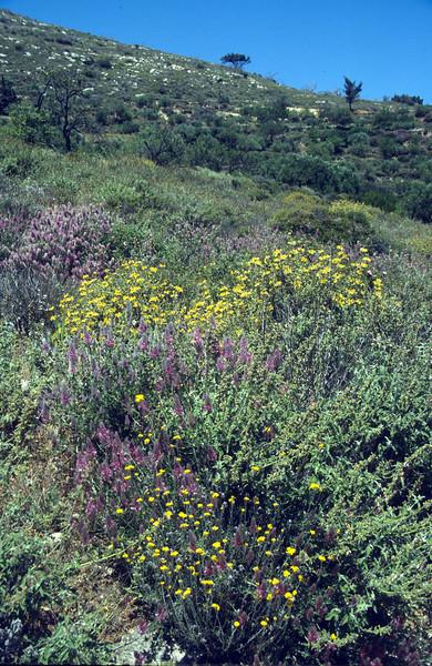 Helichrysum spec.,Ebenis cretica and Phlomis cretica
