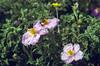Cistus incanus ssp. cretica