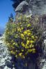 Famana thymifolia