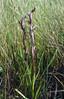 Serapias vormeraceae