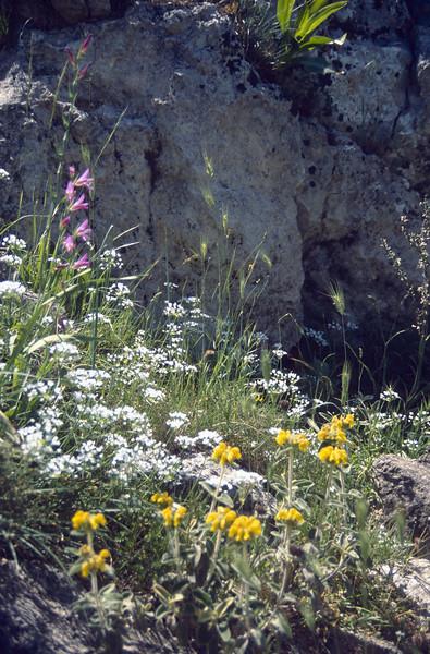 Gladiolus italicus and Phlomis cretica