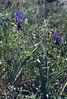 Muscari commosum  (NL: kuifhyacint)
