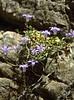 Campanula spec. (Cave of Zeuss)