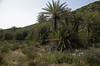 Phoenix theophrasti (Vai, NW of Crete)