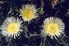Carpobrotus edulis (yellow coloured form)