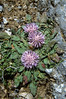 Centaurea raphanina (endemic)