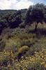 Phlomis cretica, Cistus incanus and Ebenus cretica all endemic to Crete