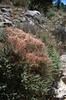 Cuscuta epithymum  (Dodder) (NL: warkruid)