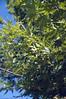 Platanus orientalis var. cretica (leaf-steady)