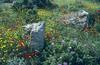 Papaver rhoeas, Chrysanthemum segetum and Cistus cretica