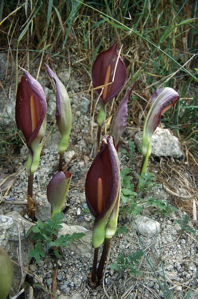 Arum alpinum