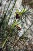 Ophrys cretensis (O. cretica)