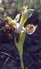 Ophrys cf. apifera (NL: bijenorchis)