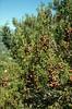 Juniperus phoenicea (NL: Fenicische jeneverbes met tweejarige vruchten)