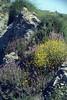 Helichrysum stoechas and Ebenus cretica