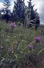 trifolium hybridum ssp. elegans