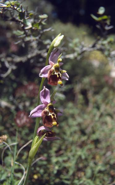 Ophrys cf. bornmuelleri episcopalis