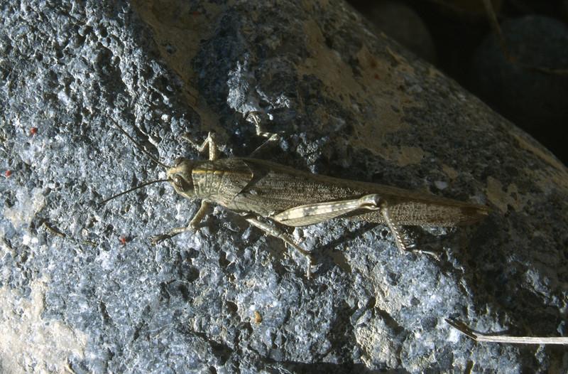Chorthippus parallelus (Acrididae) (NL: veldsprinkhaan)