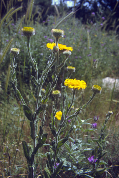 Pulicaria odora (NL: heelblaadje)